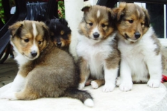shelties_6wo