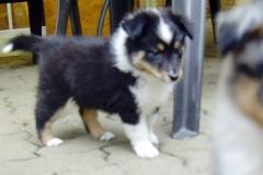 Roxy mit 6 Wochen