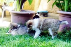 Senta und Sissi mit 8 Wochen